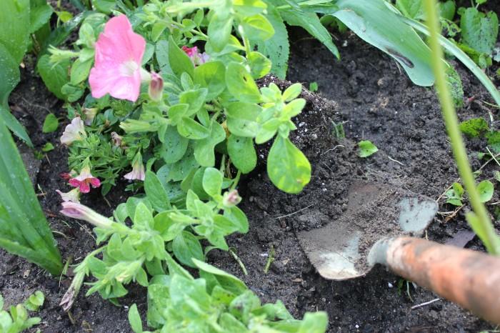 planting petunias