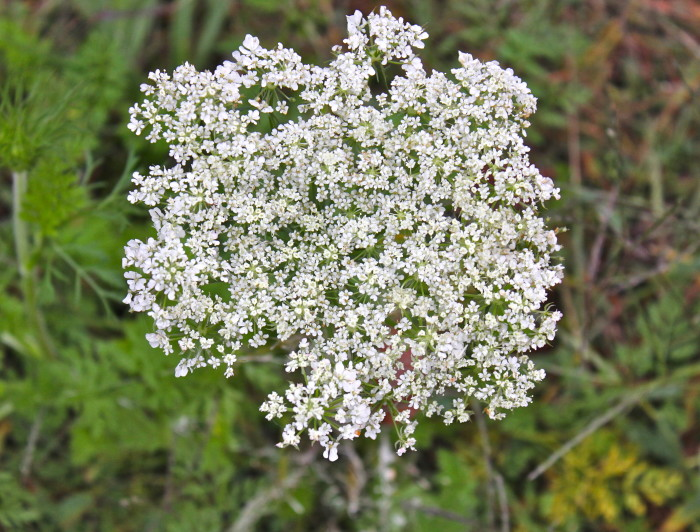 last of the Queen Anne's Lace