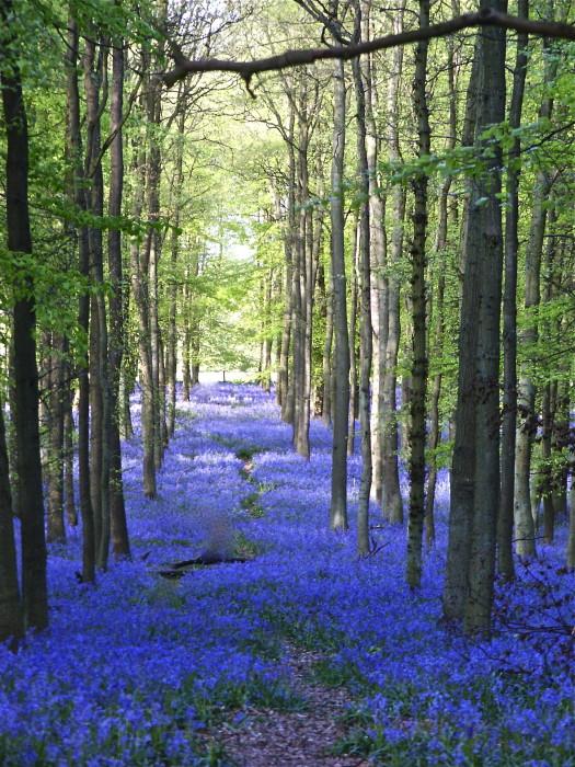Bluebells Stourhead