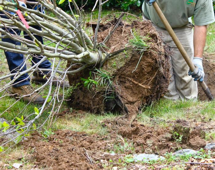 planting a new Magnolia tree