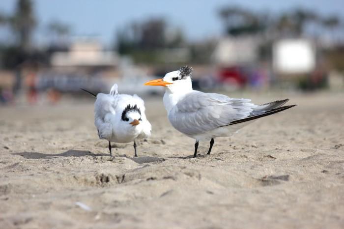 Baby & Mom shore birds Seal Beach