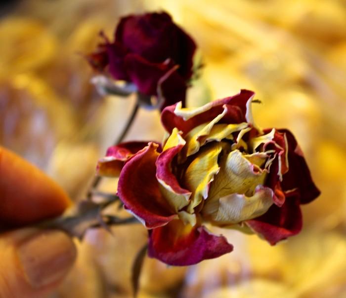 Mom and Grandma's roses