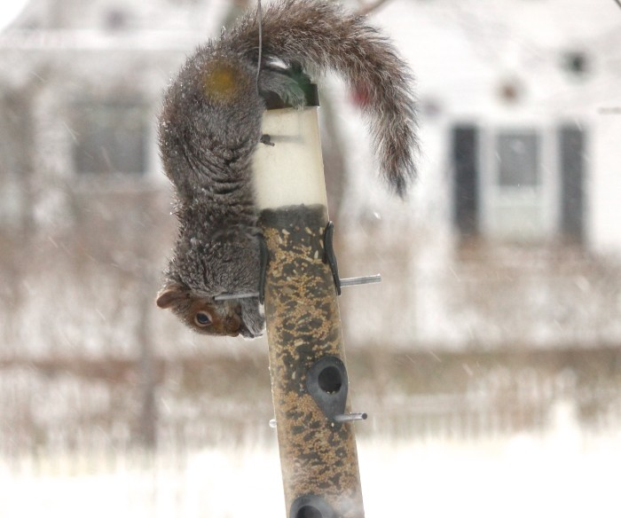 squirrels on ice