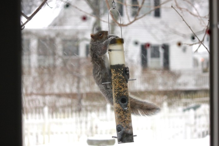 squirrel at feeders