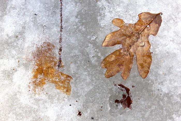 iced leaves