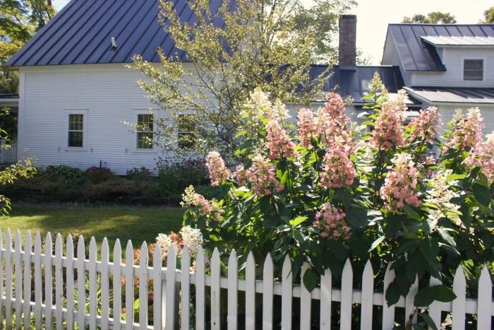 hydrangea, in Vermont