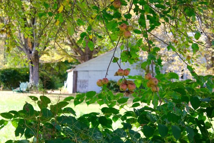 apple trees in Vermont